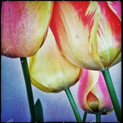 Colourful tulips flower © Queralt Sunyer
