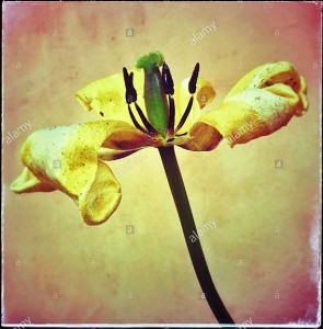 Withered tulip flower © Queralt Sunyer
