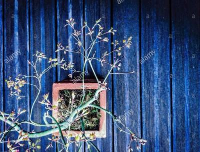 Japanese maple bonsai © Queralt Sunyer