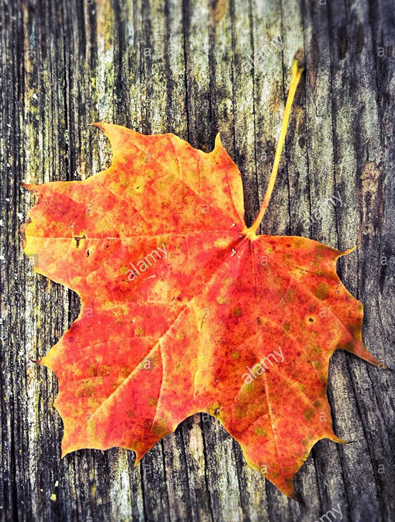 Red leaf in autumn stock photography