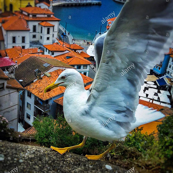 Seagull flying above if Cudillero sea coastal village, Asturias, Spain, Europe stock photography