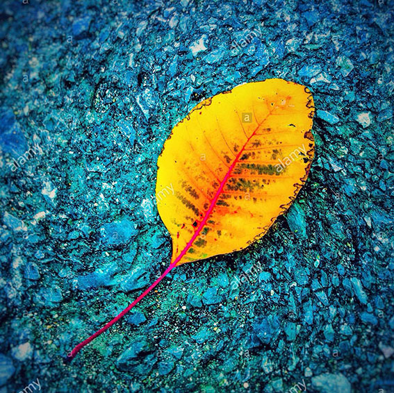 Yellow leaf on blue background stock photography