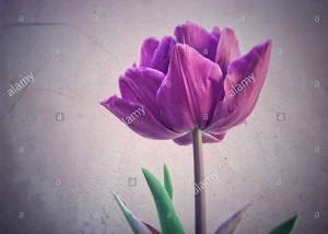 Colorful tulip flower © Queralt Sunyer