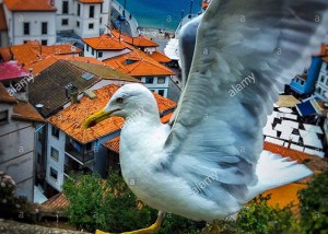 Seagull flying above if Cudillero sea coastal village, Asturias, Spain, Europe © Queralt Sunyer